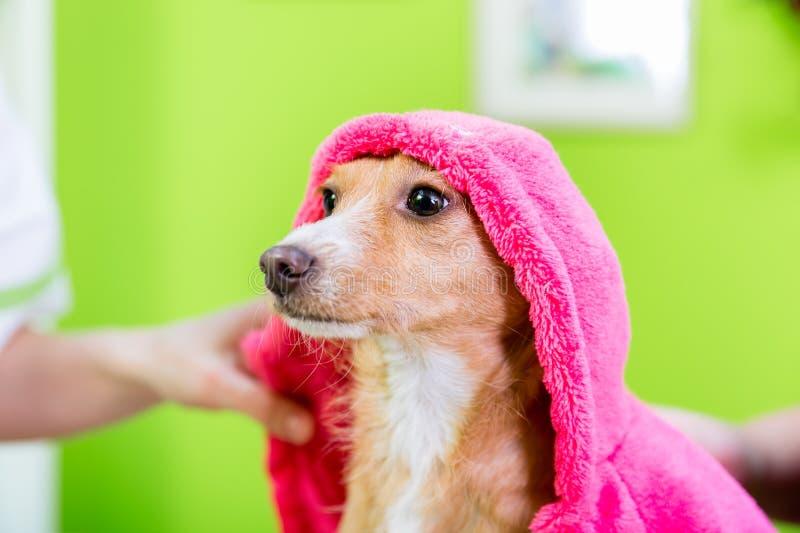 Petit chien après lavage par le coiffeur de chien dans le salon de toilettage d'animal familier photo libre de droits