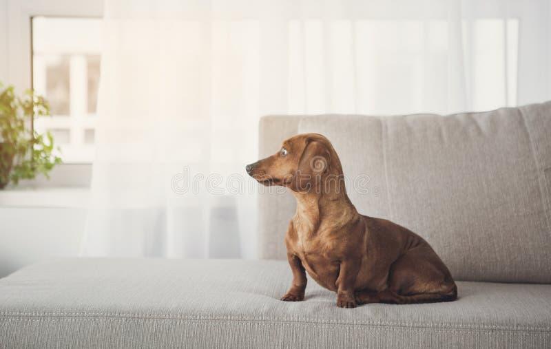 Petit chien assez brun sur le divan photographie stock