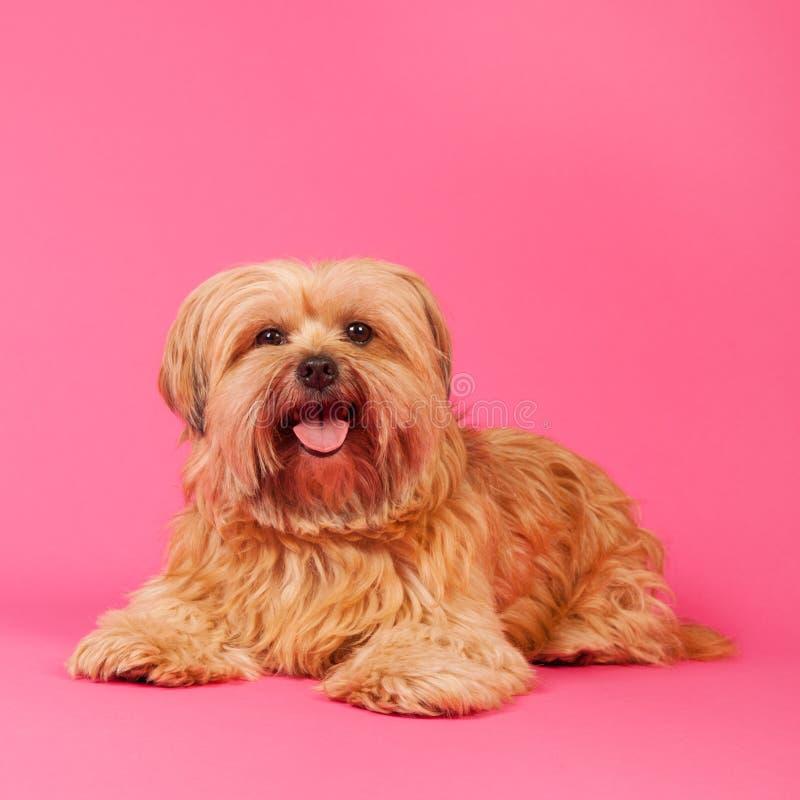 Petit chien aux cheveux longs sur le fond rose photo libre de droits