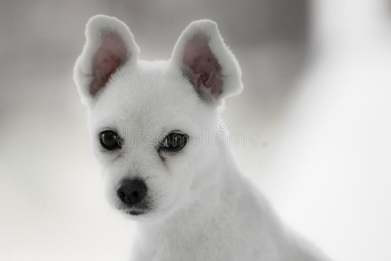 Petit chien blanc de spitz avec les yeux tristes et les grandes oreilles photo stock
