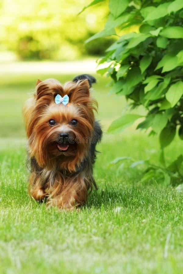Petit chien décoratif Yorkshire Terrier de famille fonctionnant sur le gra photos stock