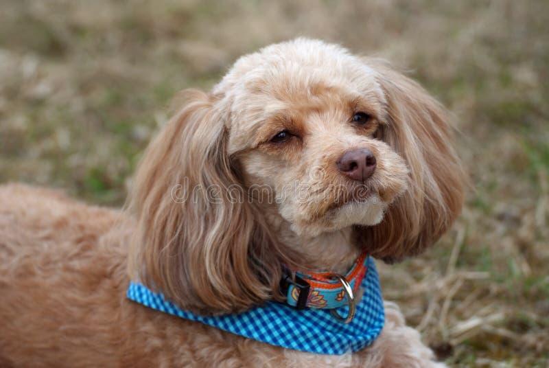 petit chien d 39 appartement photo stock image du lapdog. Black Bedroom Furniture Sets. Home Design Ideas