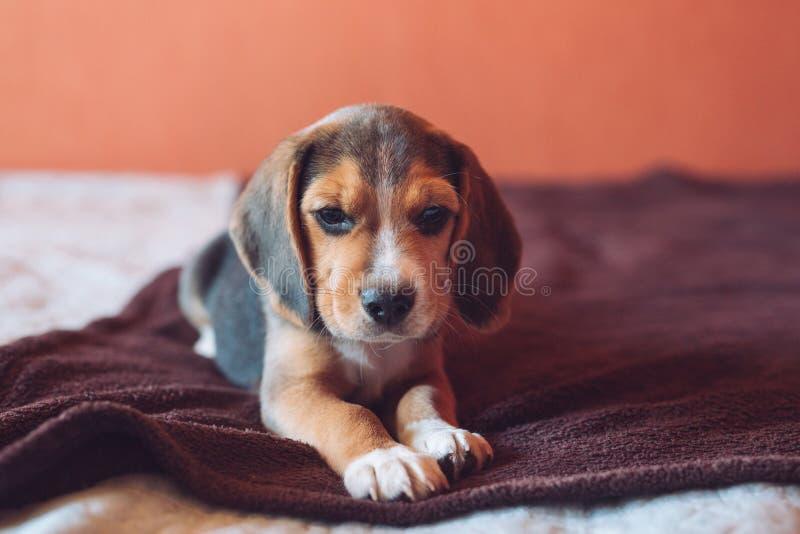 Petit chien de briquet de chien jouant à la maison sur le lit image libre de droits