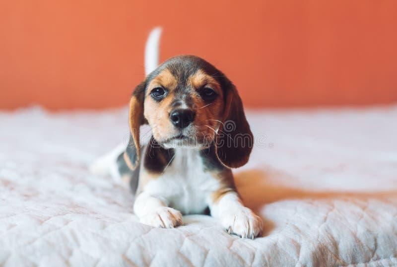 Petit chien de briquet de chien jouant à la maison sur le lit photo libre de droits