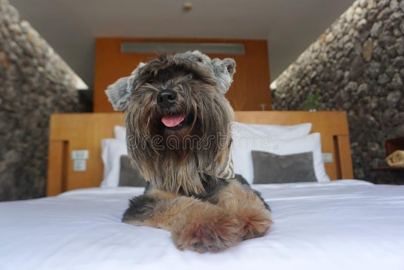 Petit chien mélangé noir de race souriant et se couchant heureusement sur le drap blanc photos stock