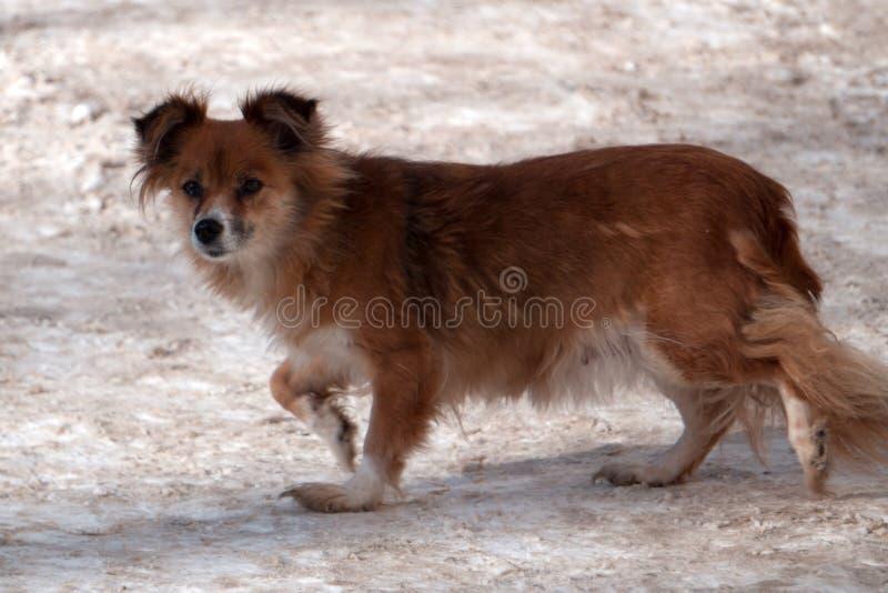 Petit chien métis roux mignon avec la bouche ouverte images libres de droits