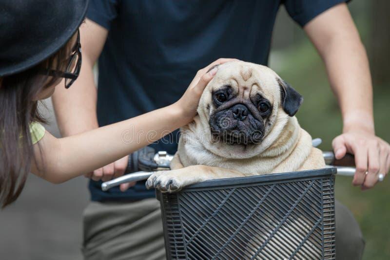 Petit chien mignon de roquet dans le panier du bicyclep photographie stock libre de droits