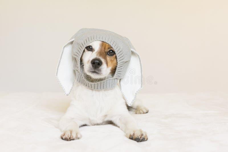 Petit chien mignon drôle se reposant sur le lit et regardant la caméra avec un costume des oreilles de lapin Animaux familiers à  image libre de droits