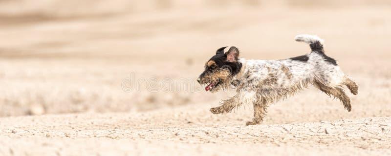 Petit chien mignon fonctionnant sur la terre arénacée sèche et avoir l'amusement Jack Russell Terriers 4 ans de jeune photo libre de droits