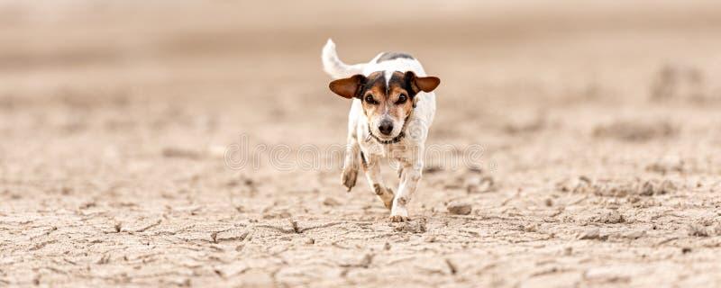 Petit chien mignon fonctionnant sur la terre arénacée sèche et avoir l'amusement Jack Russell Terriers 12 ans de jeune photo libre de droits