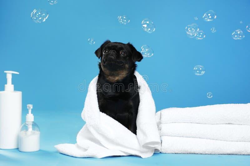 Petit chien noir mignon de Brabancon avec la serviette, les accessoires de bain et les bulles sur bleu-clair photos stock
