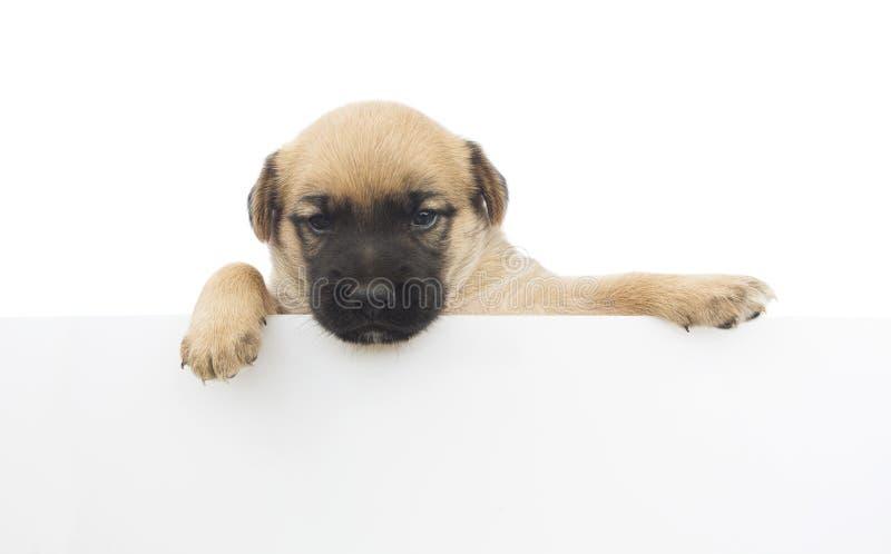 Petit chien ou chiot mignon tenant la bannière blanche vide images stock