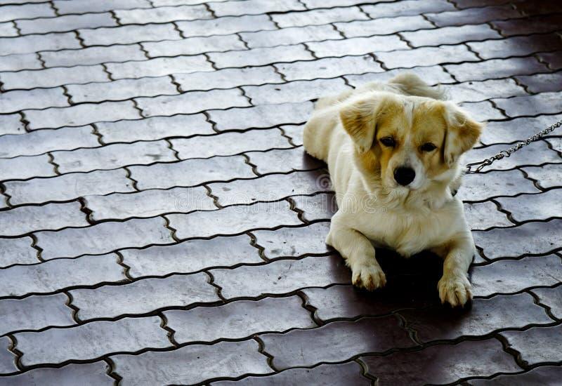 Petit chien s'étendant sur le plancher photo stock