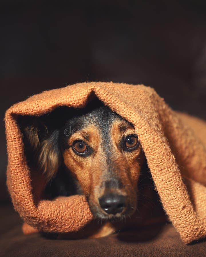 Petit chien se cachant sous la couverture images libres de droits