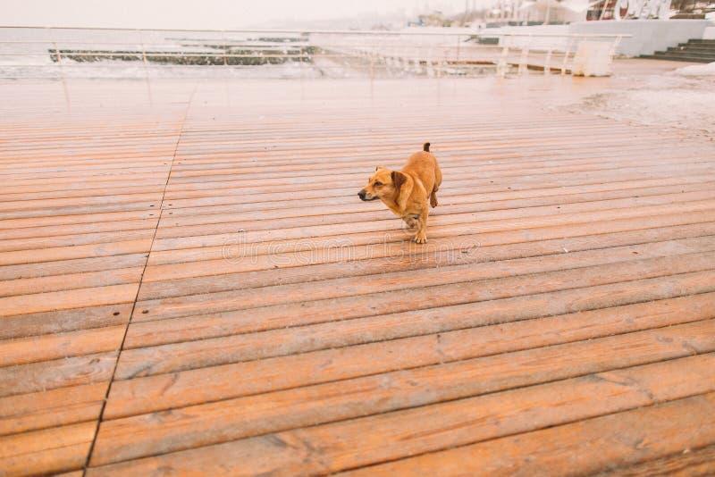 Petit chien seul regardant la mer dans la couchette jour d'automne pluvieux photographie stock
