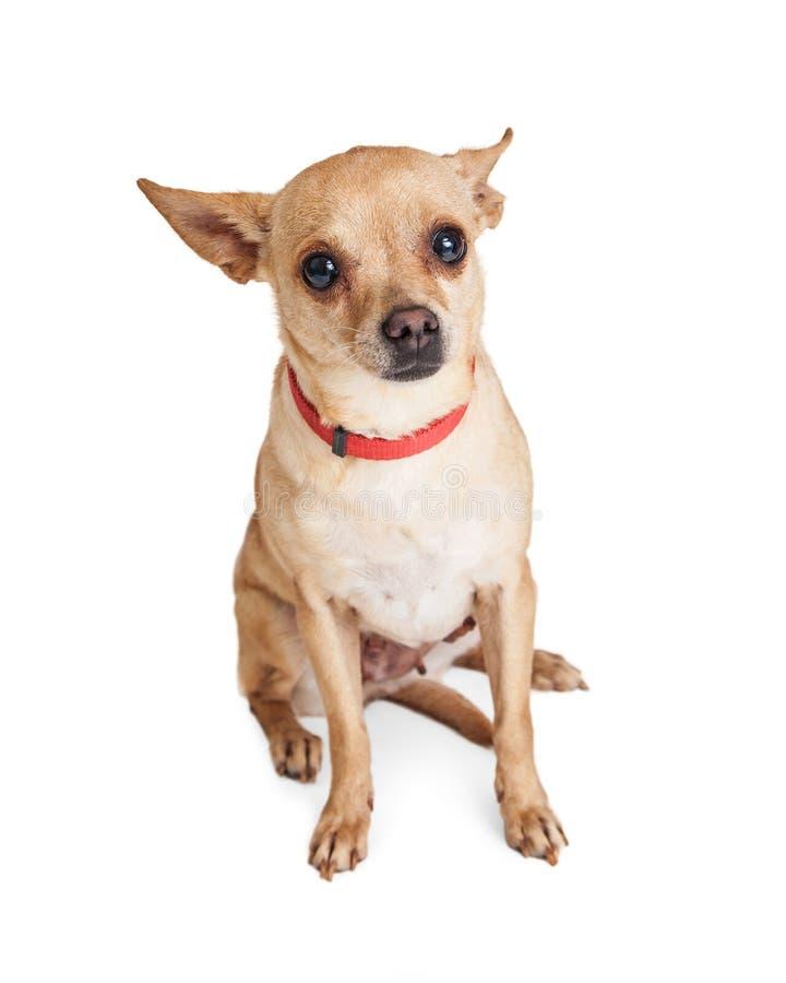 Petit chien timide de chiwawa utilisant le collier rouge se reposant sur le blanc image stock