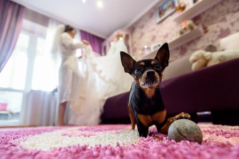 Petit chienchien mignon regardant avec de grands yeux sur le fond de la jeune mariée i photographie stock