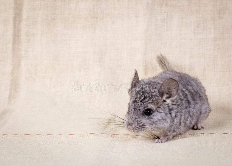 Petit chinchilla gris photos stock