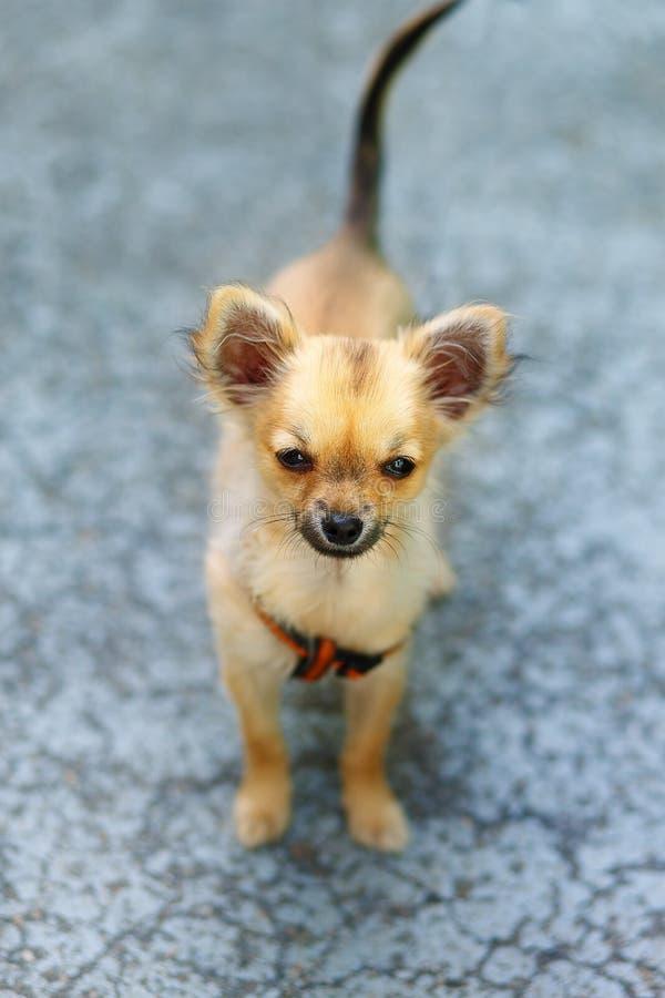 Petit chiot adorable avec du charme de chiwawa sur le fond brouillé Contact visuel photographie stock
