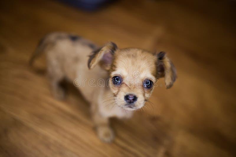 Petit chiot beau de chiwawa avec les oreilles drôles dans la cage photos libres de droits