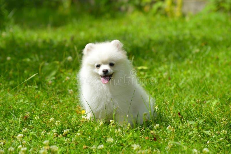 Petit chiot blanc se reposant sur l'herbe dehors photographie stock