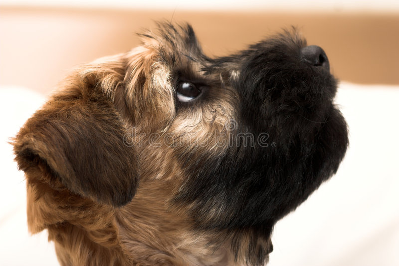 Petit chiot brun photos libres de droits