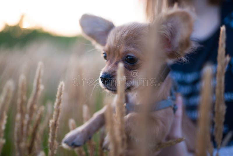 Petit chiot de chiwawa pour la première fois sur une promenade et jouer en nature sur le champ photographie stock