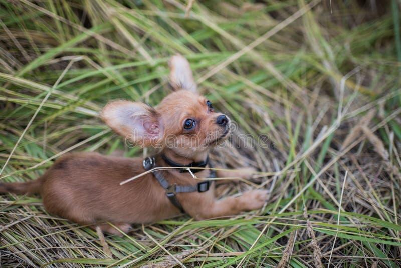 Petit chiot de chiwawa pour la première fois sur une promenade et jouer en nature sur le champ photos libres de droits