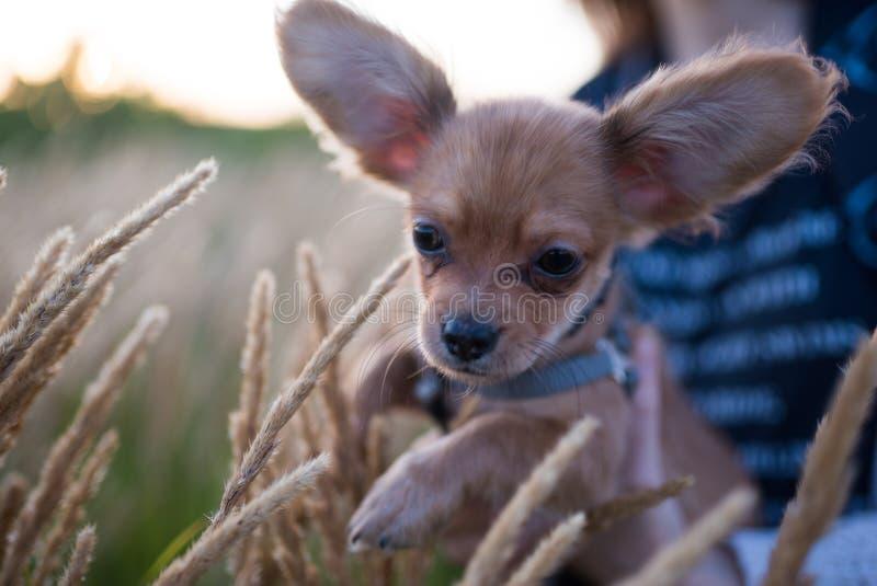 Petit chiot de chiwawa pour la première fois sur une promenade et jouer en nature sur le champ photo stock