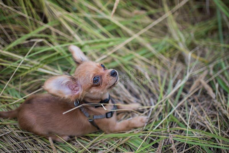 Petit chiot de chiwawa pour la première fois sur une promenade et jouer en nature sur le champ image stock