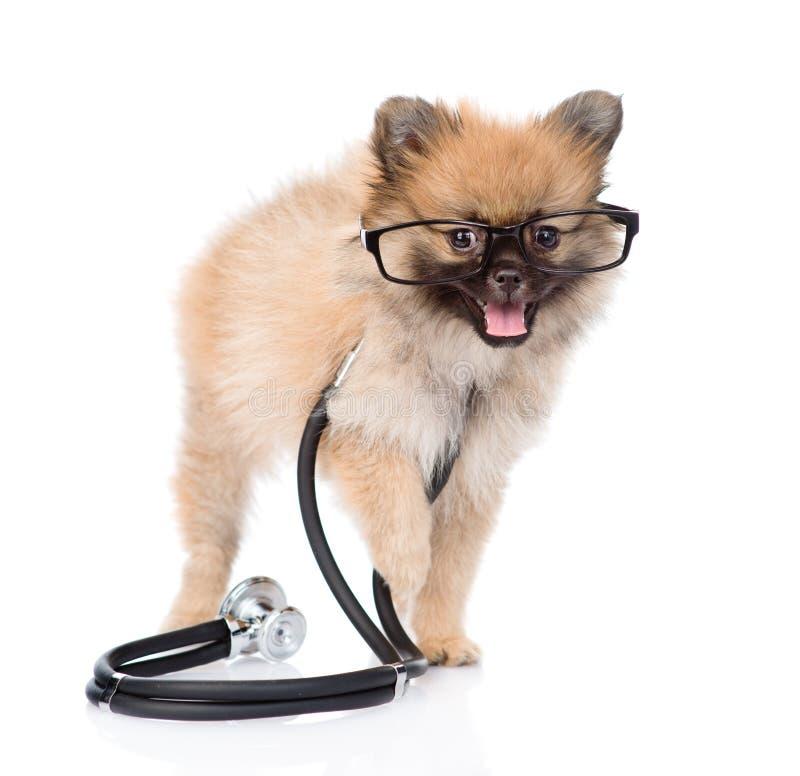 Petit chiot de spitz se tenant avec un stéthoscope sur son cou D'isolement photo stock