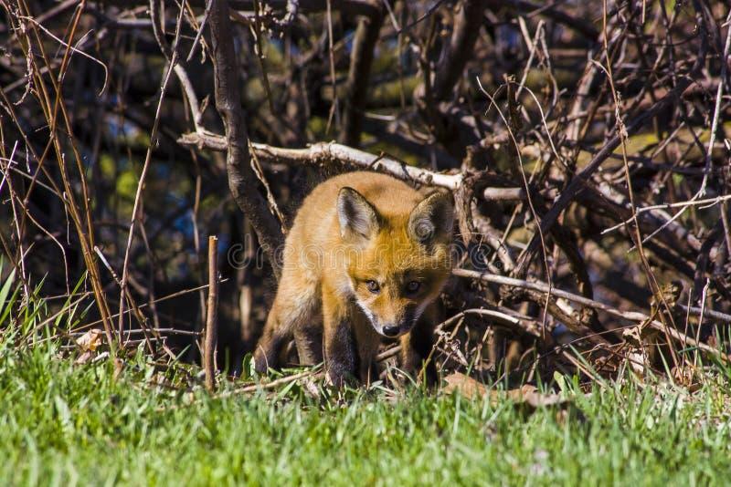 Petit chiot mignon de chiot de renard reniflant l'herbe image stock