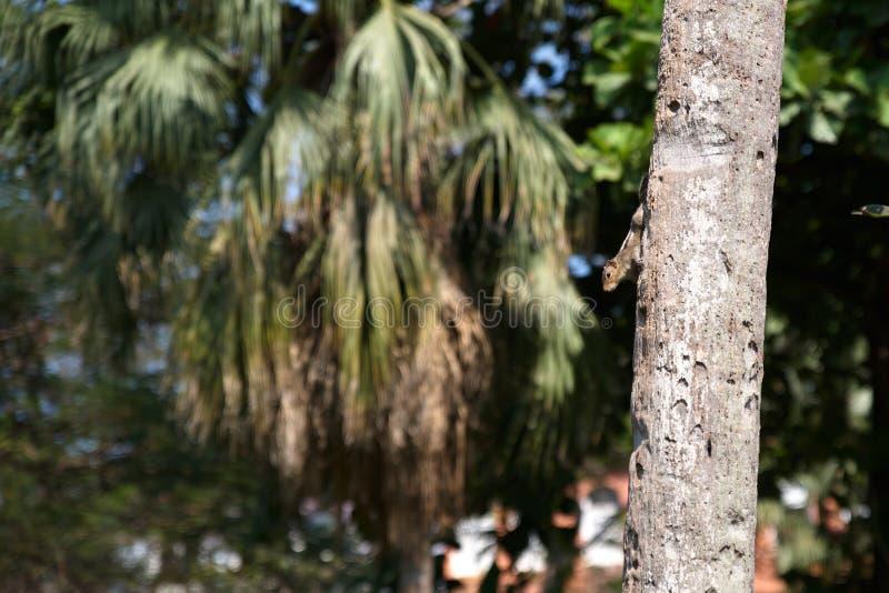 Petit Chipmunk assis sur un palmier dans le parc touristique de Goa. Rodent n'a pas peur des gens et saute sur les branches des pa image libre de droits