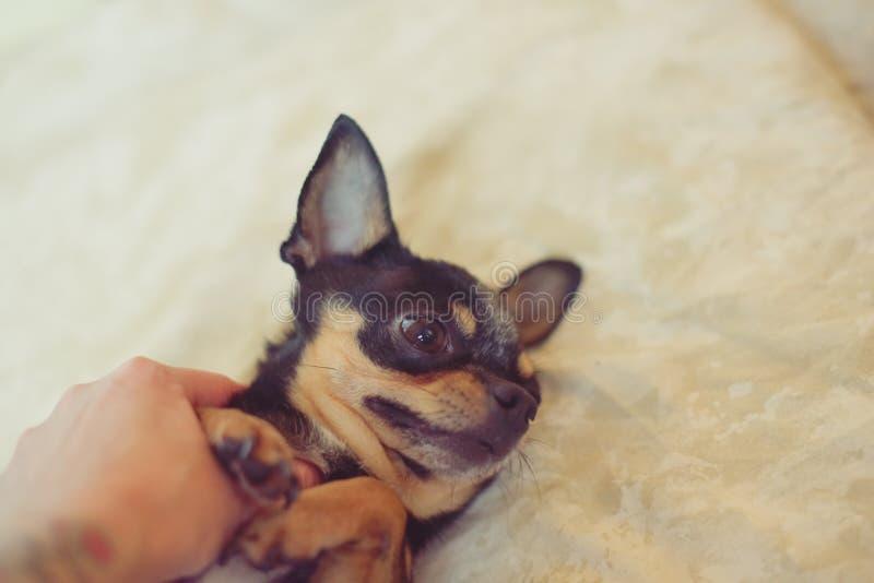 Petit chiwawa de chien dans les mains de la fille photos libres de droits