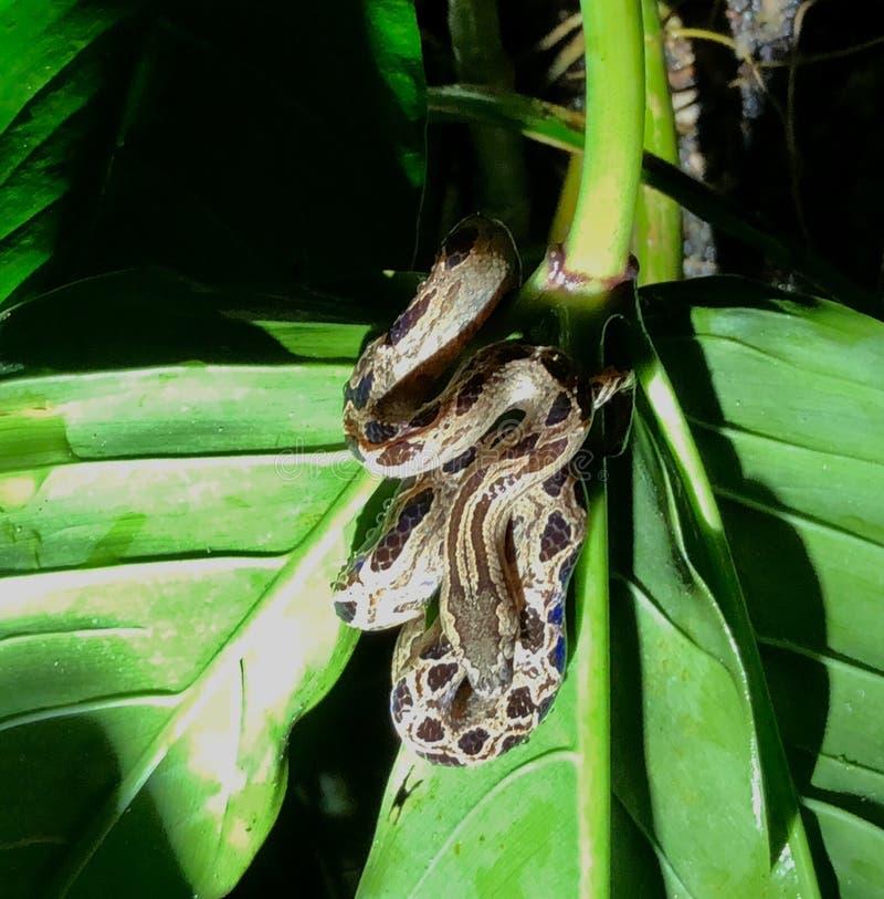 Petit constricteur de boa en Costa Rican Rainforest image libre de droits