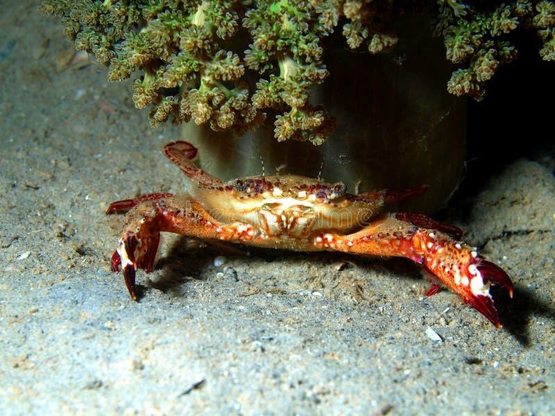 Petit crabe image libre de droits