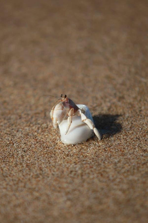 Petit crabe dans un interpréteur de commandes interactif blanc photos stock