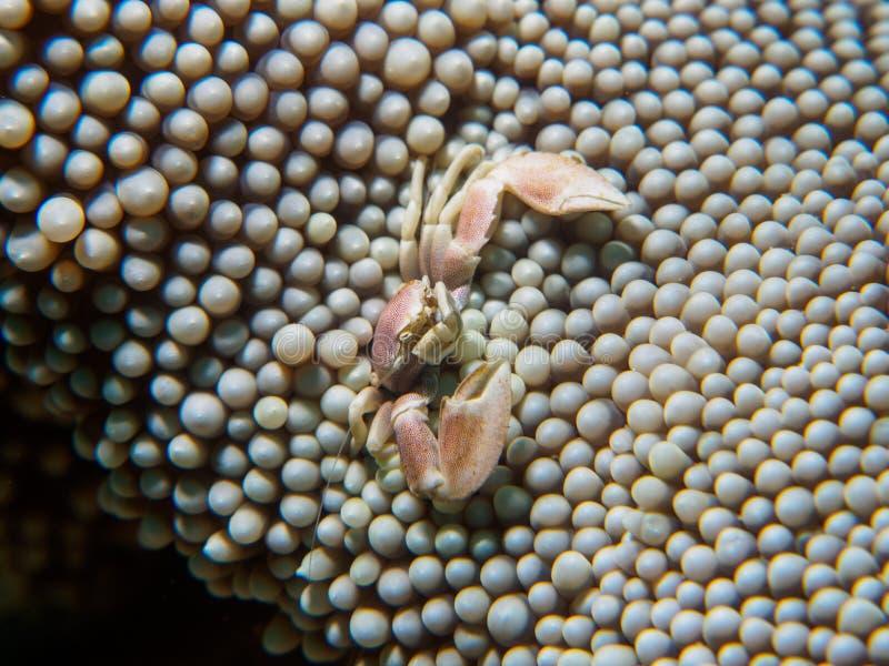 Petit crabe dans une anémone image stock