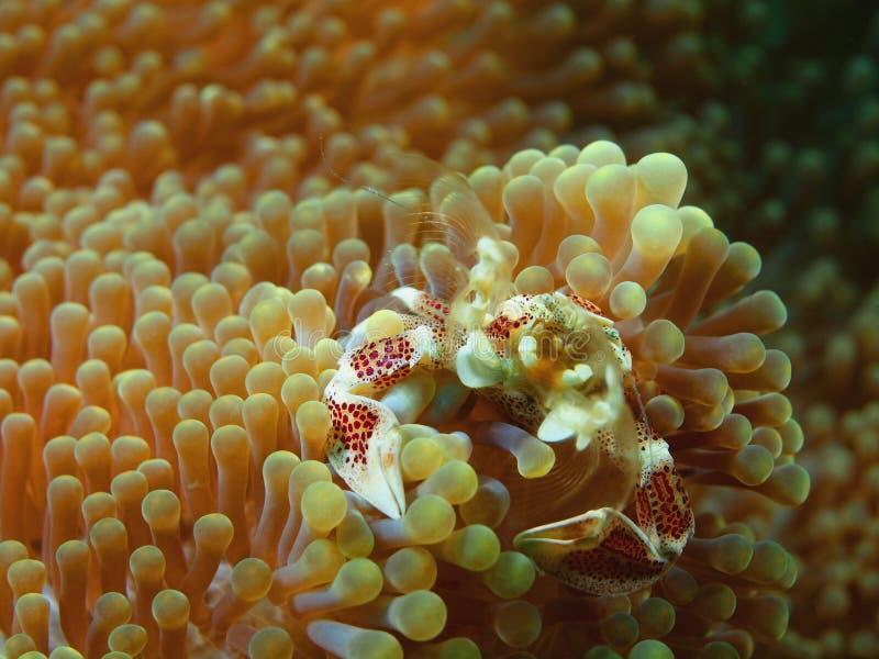 Petit crabe sur une anémone photo libre de droits