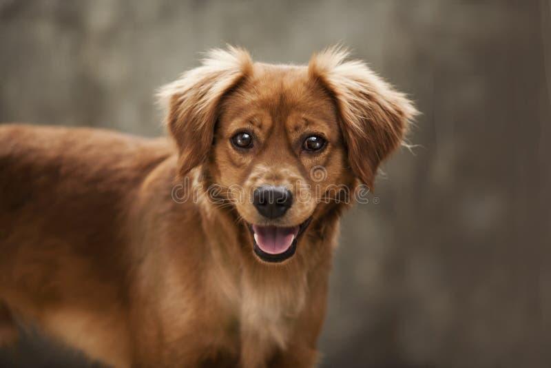 Petit crabot Chiot pet canin canis mammifères Visage Portrait Amant animal Amant de chien Magasin de bêtes Aliment pour animaux f image libre de droits