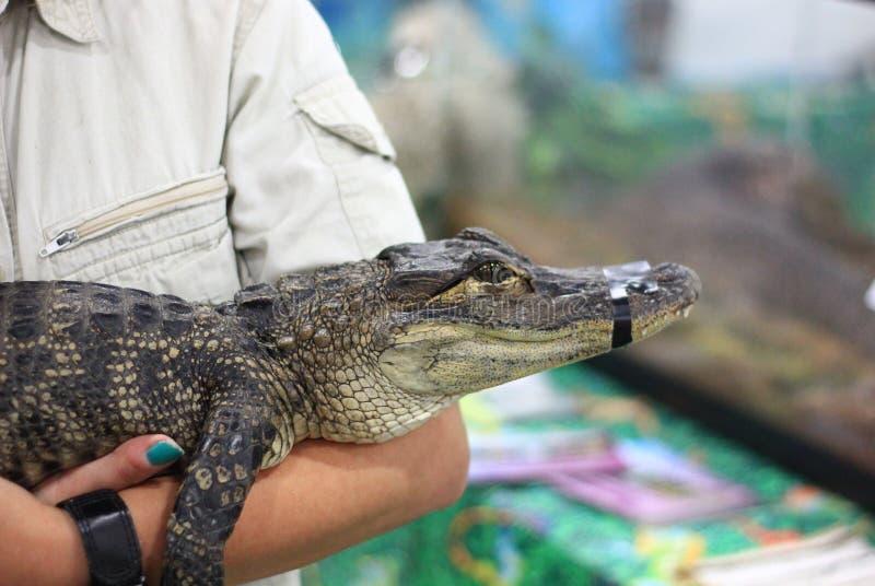 Petit crocodile à une exposition de reptile images libres de droits