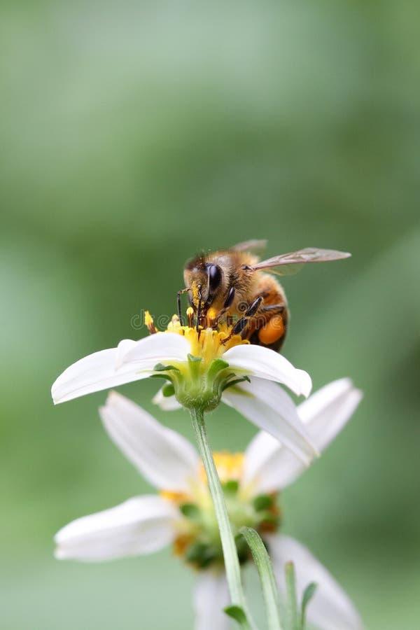 Petit d?jeuner d'abeille photo libre de droits