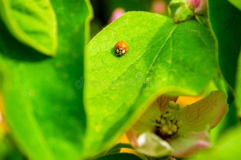 Petit decempunctata orange d'Adalia de scarabée du Coccinellidae de famille sur une feuille de coing, dans la lumière chaude du s photo stock