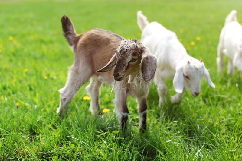 Petit enfant brun de chèvre frôlant, feuille d'herbe dans sa bouche Plus de goa photo stock
