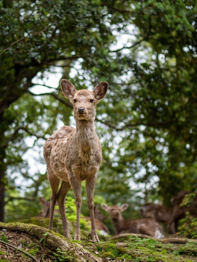Petit enfant doux Fawn Looking de cerfs communs au côté avec le soleil dans la forêt avec le fond vert image libre de droits