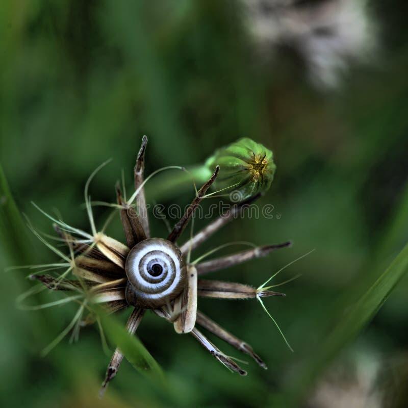 Petit ensemble d'escargot au centre d'une couronne des graines d'herbe photos stock