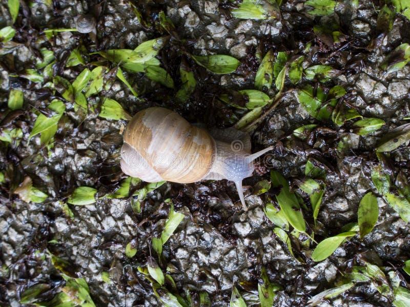 Petit escargot après pluie image libre de droits
