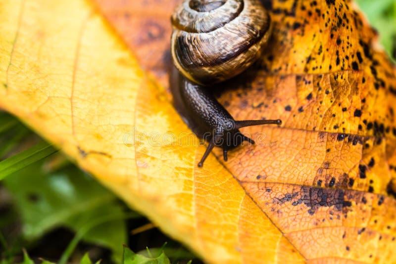 Petit escargot mignon rampant sur la feuille jaune d'automne photo libre de droits