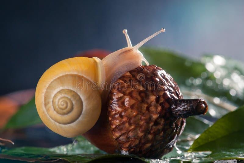 Petit escargot placé sur le gland L'escargot magique rampe sur un gland photographie stock