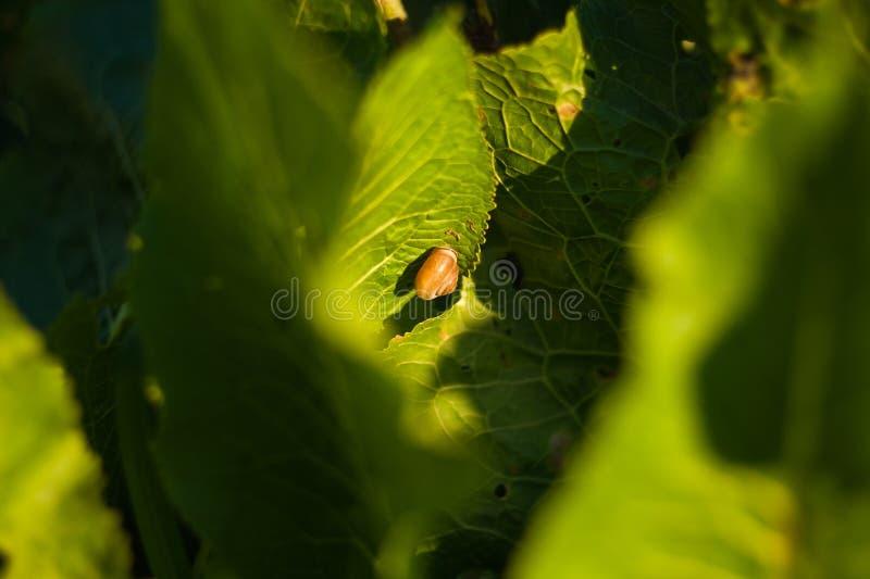 Petit escargot rampant sur la feuille verte avec des gouttes de l'eau un jour ensoleill? photos stock